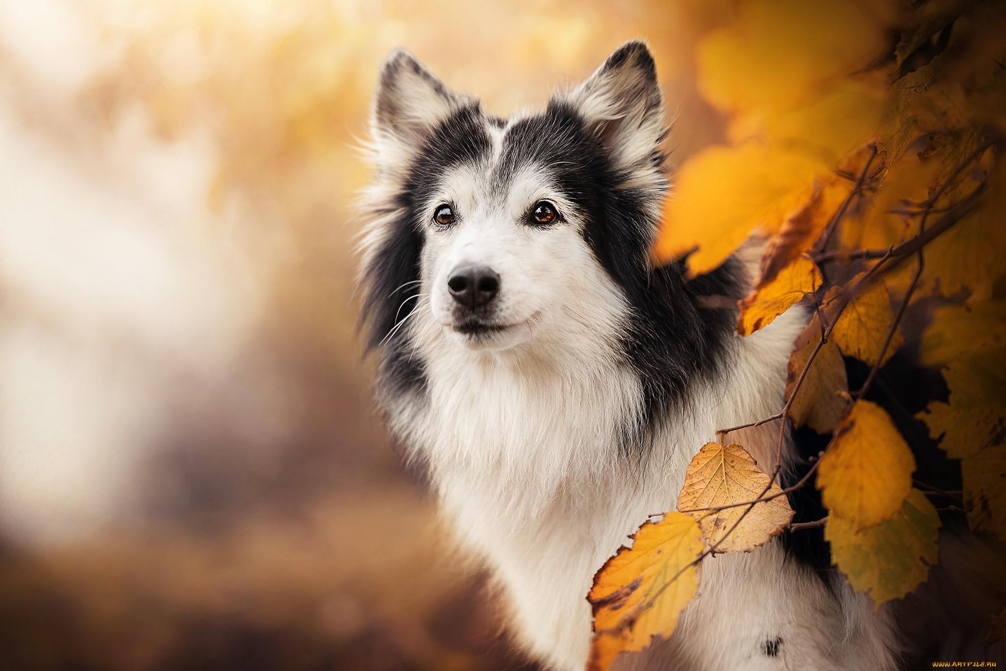 животные, собаки, жёлтые, листья